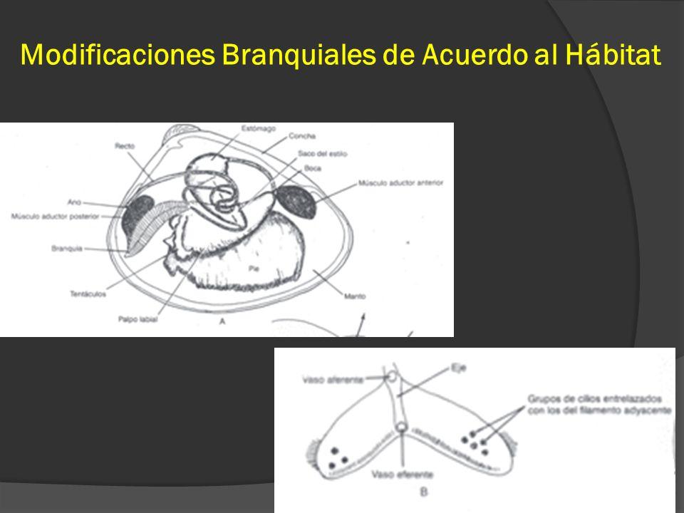 Modificaciones Branquiales de Acuerdo al Hábitat