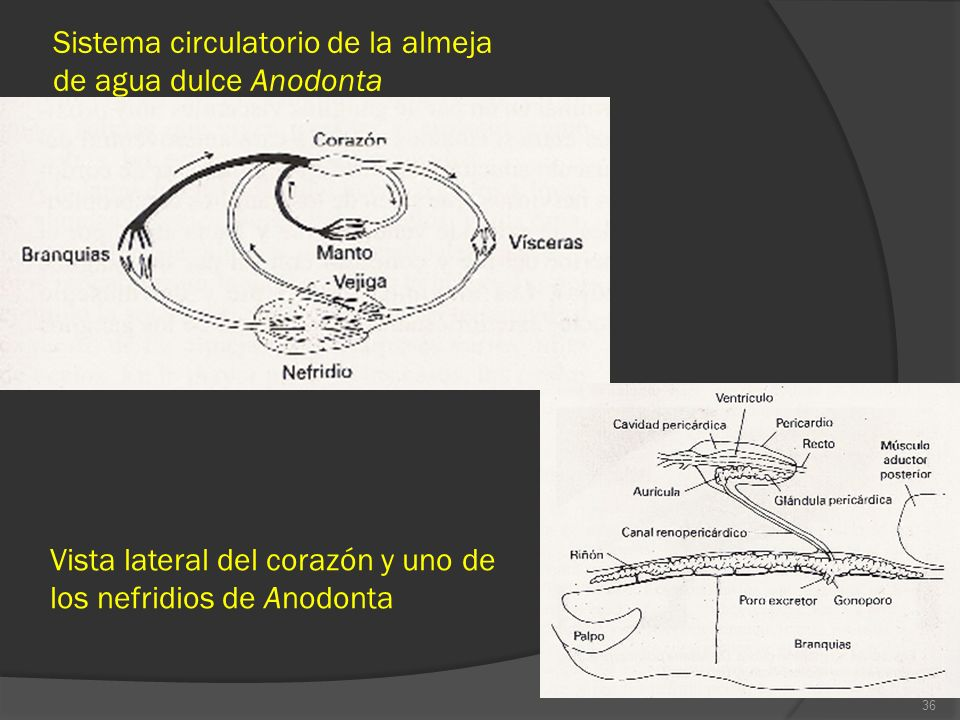 Sistema circulatorio de la almeja de agua dulce Anodonta