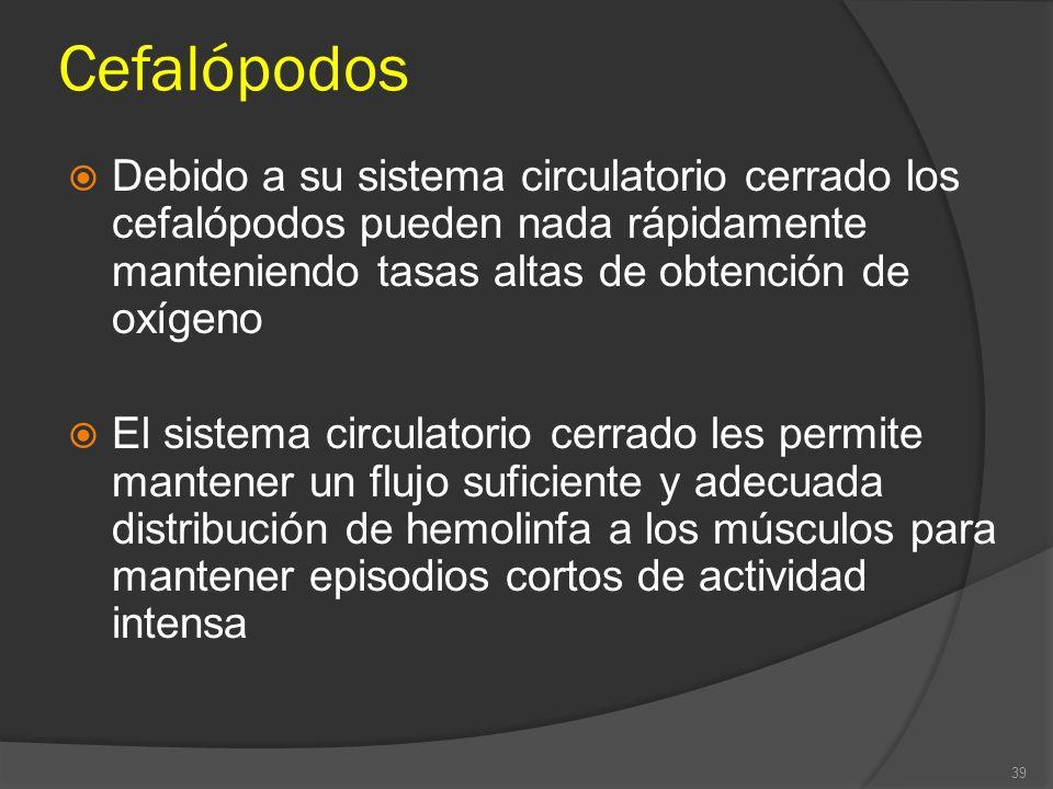 Cefalópodos Debido a su sistema circulatorio cerrado los cefalópodos pueden nada rápidamente manteniendo tasas altas de obtención de oxígeno.