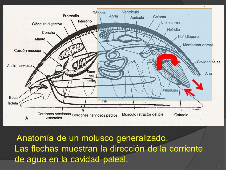 Anatomía de un molusco generalizado.