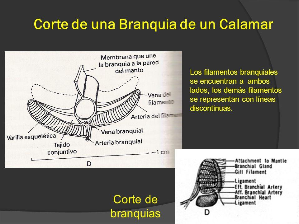 Corte de una Branquia de un Calamar