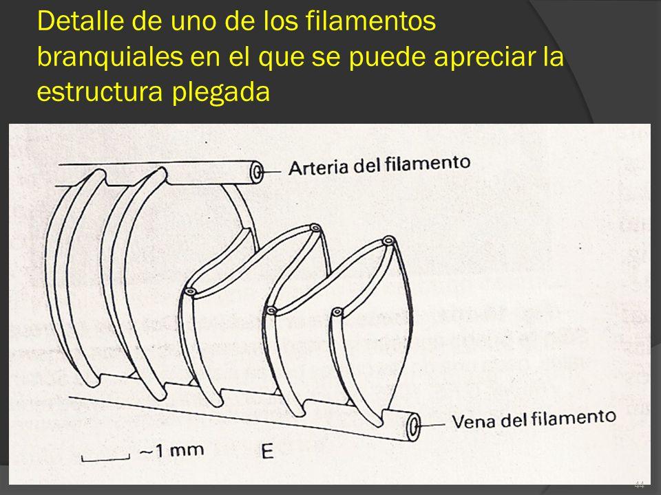 Detalle de uno de los filamentos branquiales en el que se puede apreciar la estructura plegada