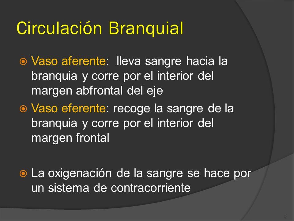 Circulación Branquial