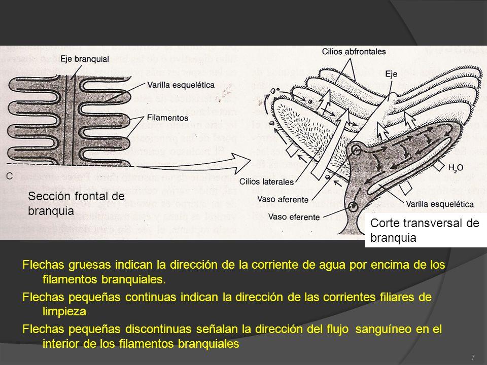 Sección frontal de branquia