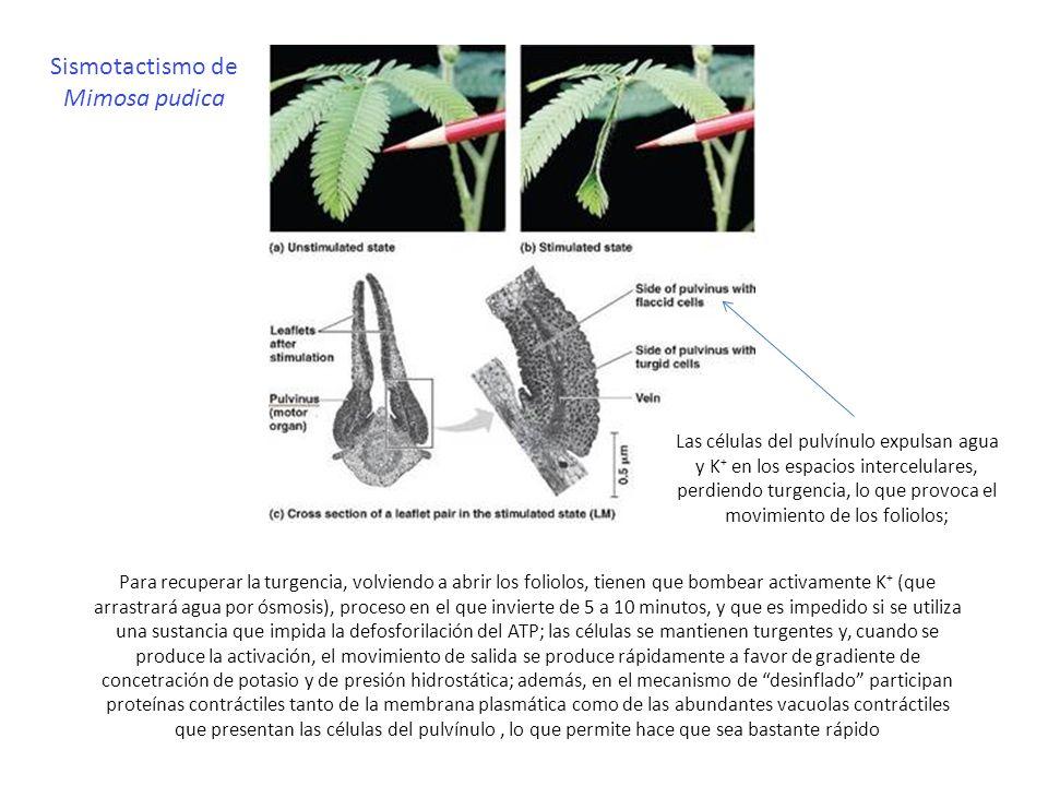 Sismotactismo de Mimosa pudica