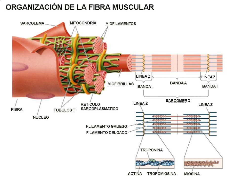 http://2.bp.blogspot.com/-tMmypS0hmxg/UJpiqfgqT4I/AAAAAAAAARE/FXqQ2bMPV18/s1600/organizacion+fibra+muscular.jpg
