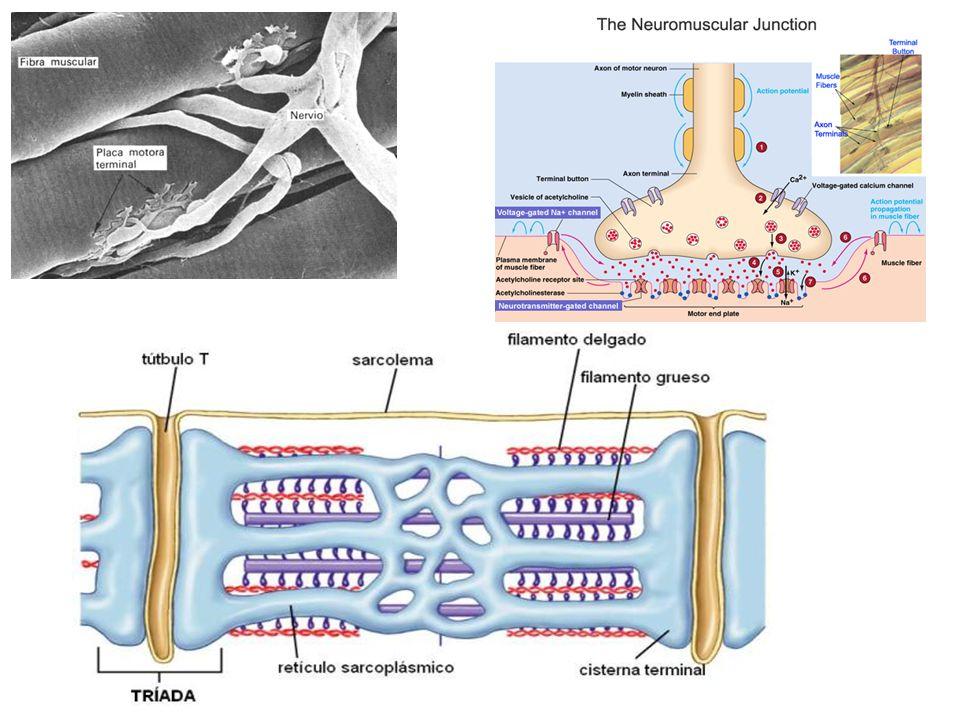 http://www.ht.org.ar/histologia/NUEVAS%20UNIDADES/unidades/unidad4/imagenes/Placam1.jpg