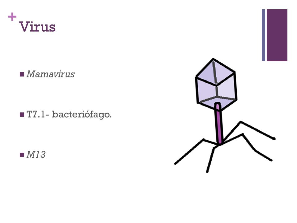 Virus Mamavirus T7.1- bacteriófago. M13