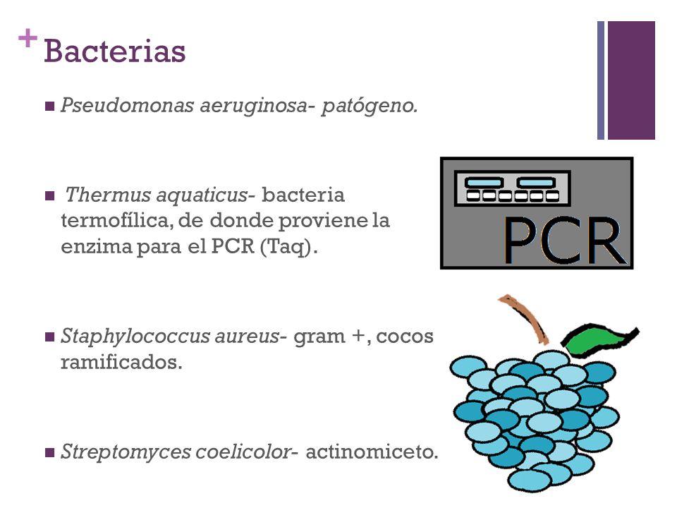 Bacterias Pseudomonas aeruginosa- patógeno.