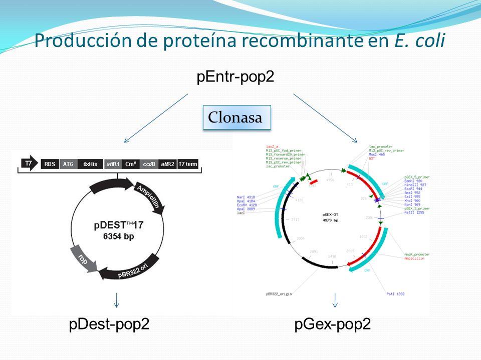 Producción de proteína recombinante en E. coli