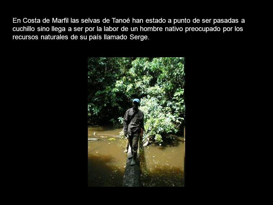 En Costa de Marfil las selvas de Tanoé han estado a punto de ser pasadas a cuchillo sino llega a ser por la labor de un hombre nativo preocupado por los recursos naturales de su país llamado Serge.