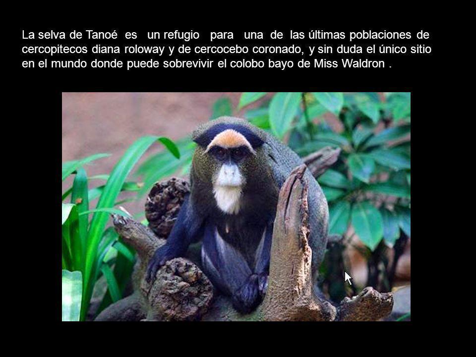 La selva de Tanoé es un refugio para una de las últimas poblaciones de cercopitecos diana roloway y de cercocebo coronado, y sin duda el único sitio en el mundo donde puede sobrevivir el colobo bayo de Miss Waldron .