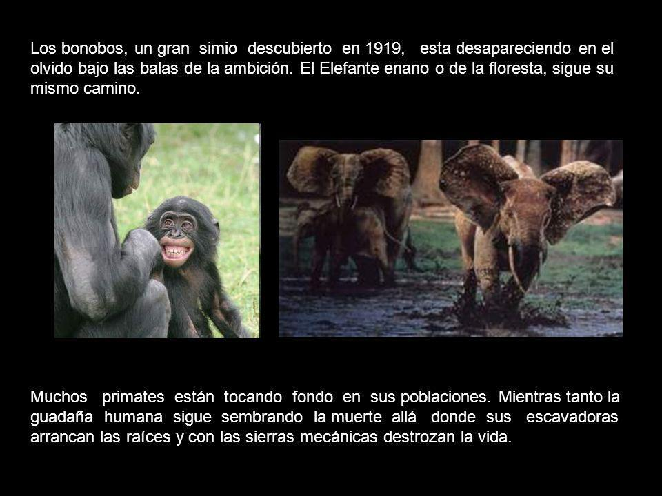 Los bonobos, un gran simio descubierto en 1919, esta desapareciendo en el olvido bajo las balas de la ambición. El Elefante enano o de la floresta, sigue su mismo camino.