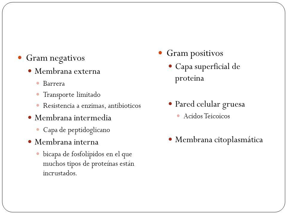 Gram positivos Gram negativos Capa superficial de proteina
