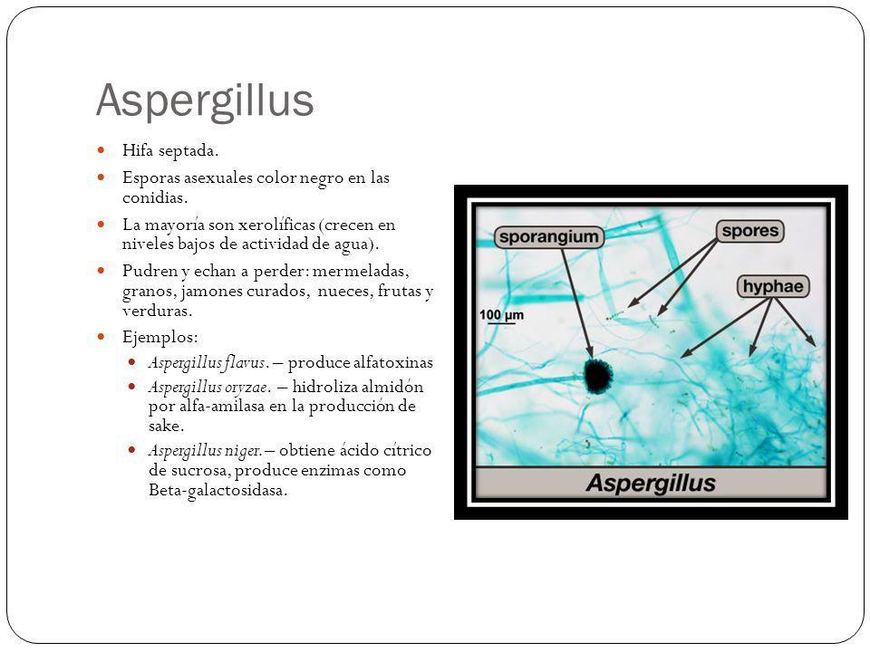 Aspergillus Hifa septada.