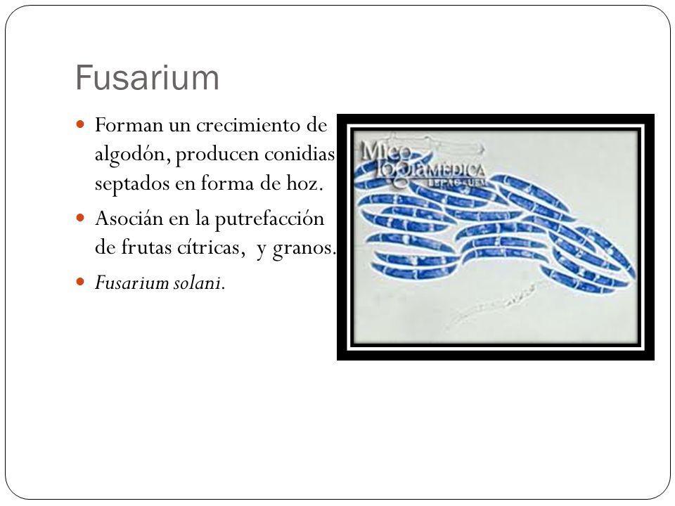 Fusarium Forman un crecimiento de algodón, producen conidias septados en forma de hoz. Asocián en la putrefacción de frutas cítricas, y granos.