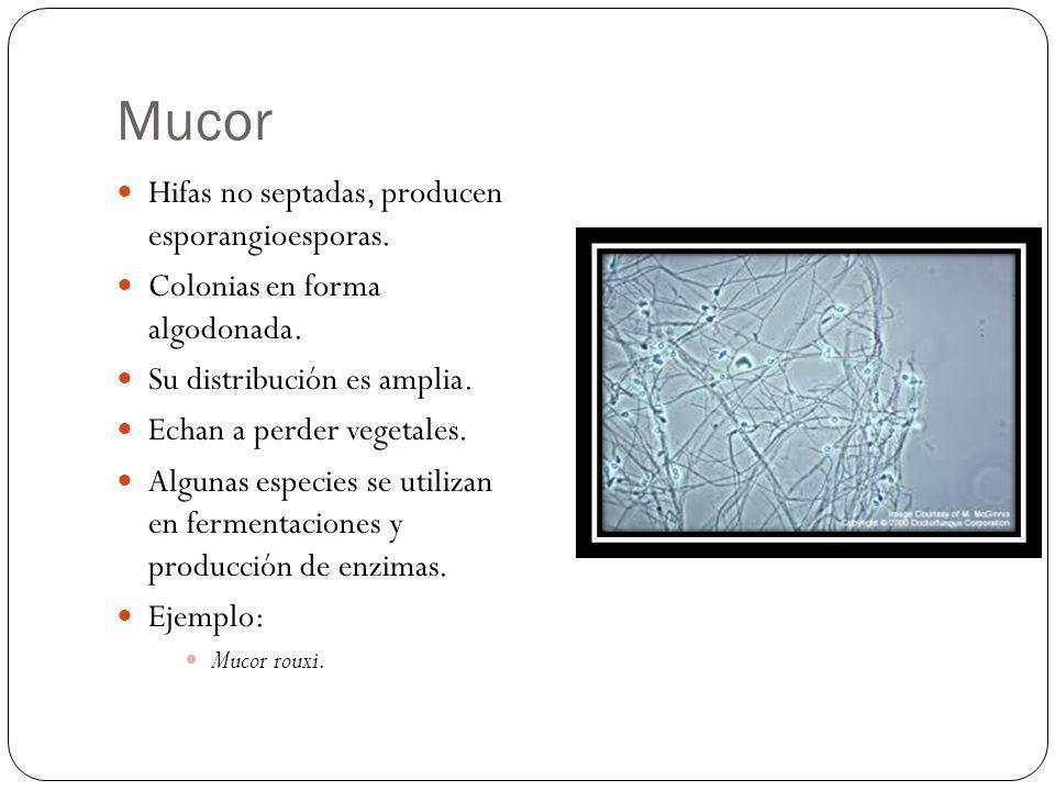 Mucor Hifas no septadas, producen esporangioesporas.