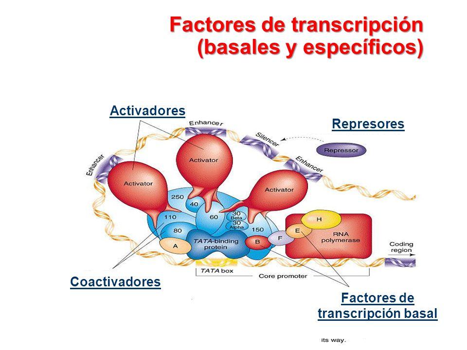 Factores de transcripción (basales y específicos)