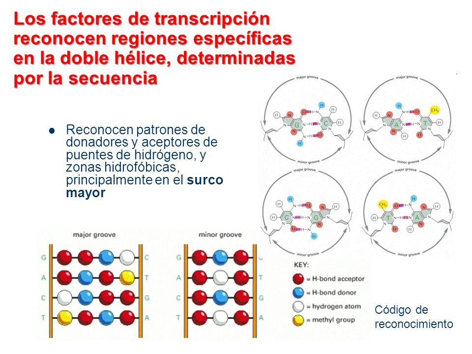 Los factores de transcripción reconocen regiones específicas en la doble hélice, determinadas por la secuencia