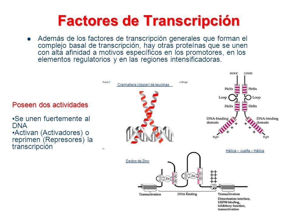 Factores de Transcripción