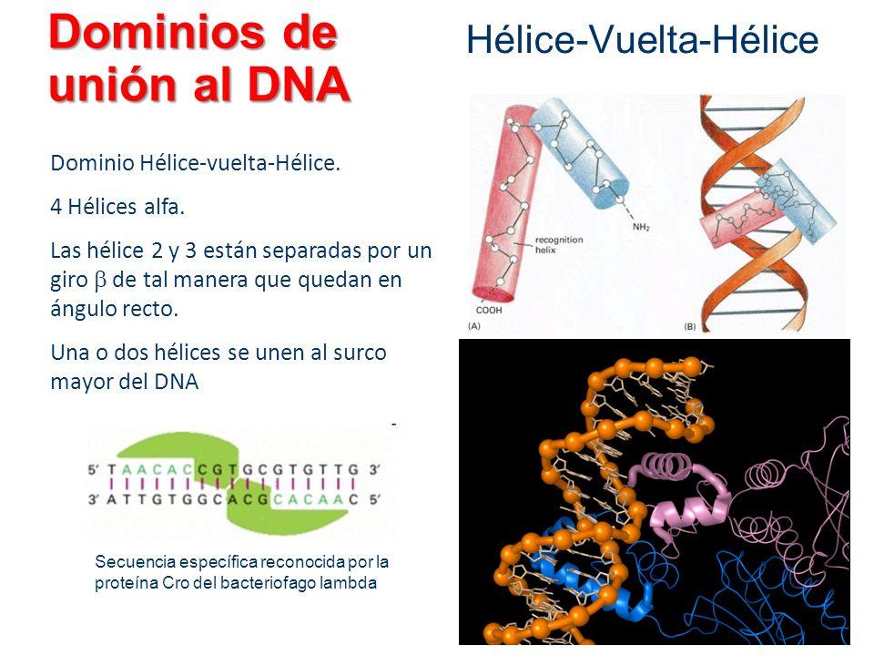 Dominios de unión al DNA