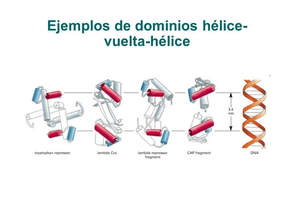 Ejemplos de dominios hélice-vuelta-hélice