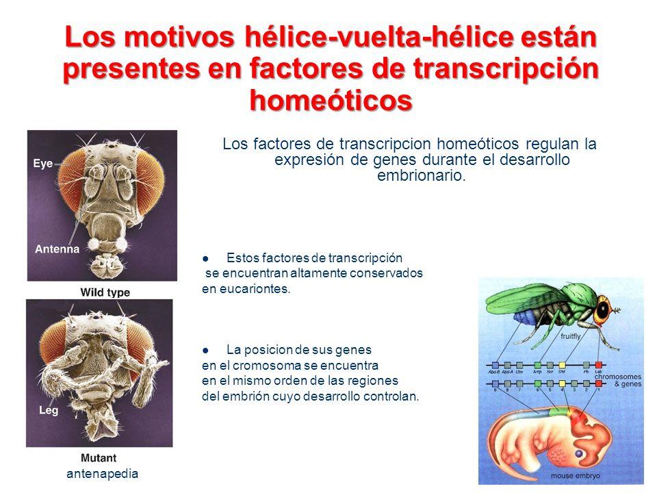 Los motivos hélice-vuelta-hélice están presentes en factores de transcripción homeóticos
