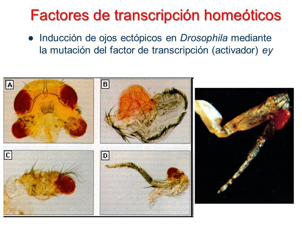 Factores de transcripción homeóticos