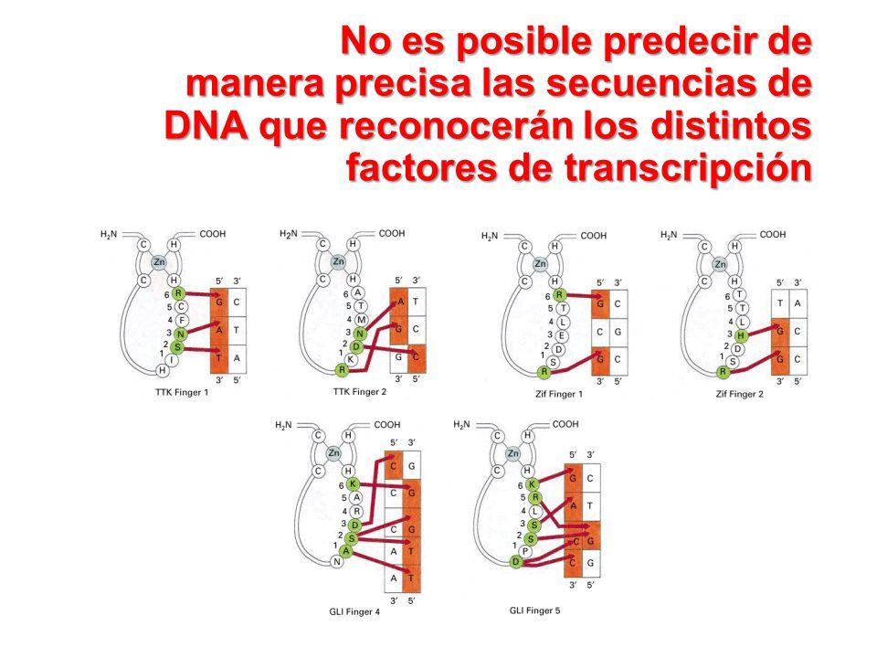 No es posible predecir de manera precisa las secuencias de DNA que reconocerán los distintos factores de transcripción