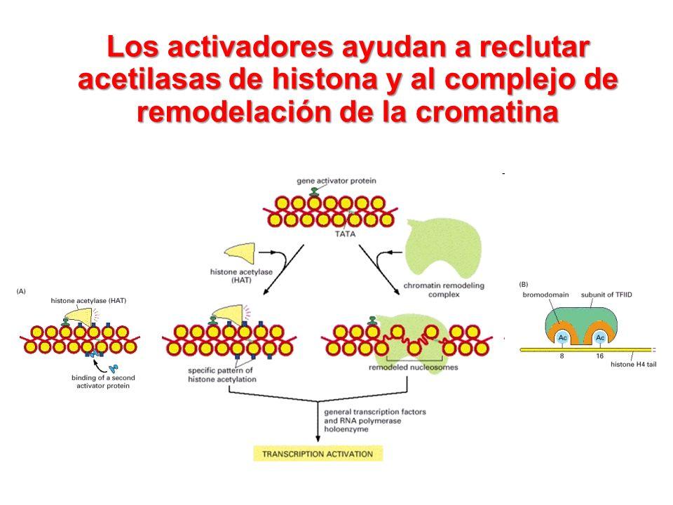 Los activadores ayudan a reclutar acetilasas de histona y al complejo de remodelación de la cromatina