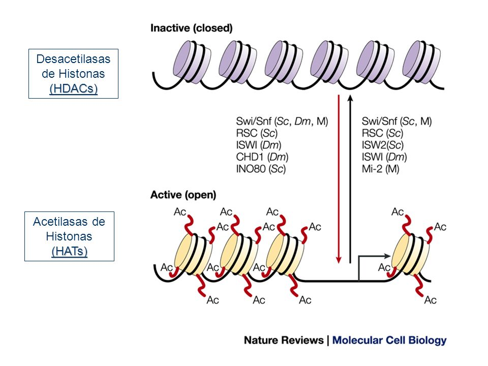 Desacetilasas de Histonas (HDACs)