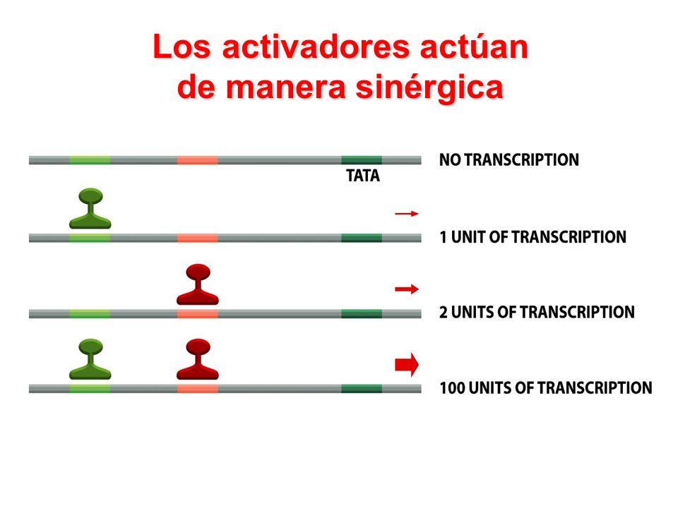 Los activadores actúan de manera sinérgica
