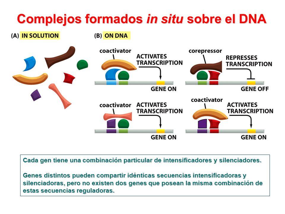Complejos formados in situ sobre el DNA