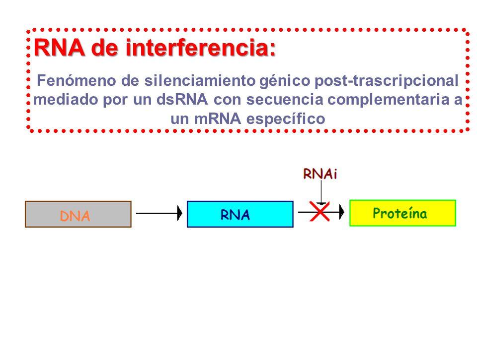 RNA de interferencia: Fenómeno de silenciamiento génico post-trascripcional mediado por un dsRNA con secuencia complementaria a un mRNA específico.