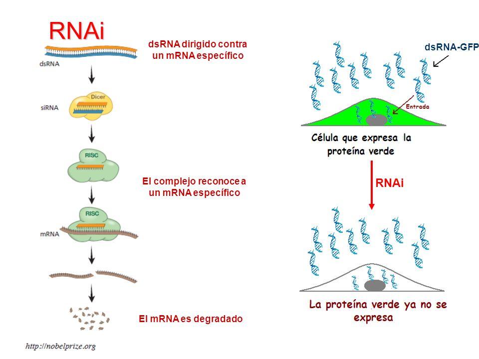 RNAi RNAi dsRNA dirigido contra un mRNA específico dsRNA-GFP