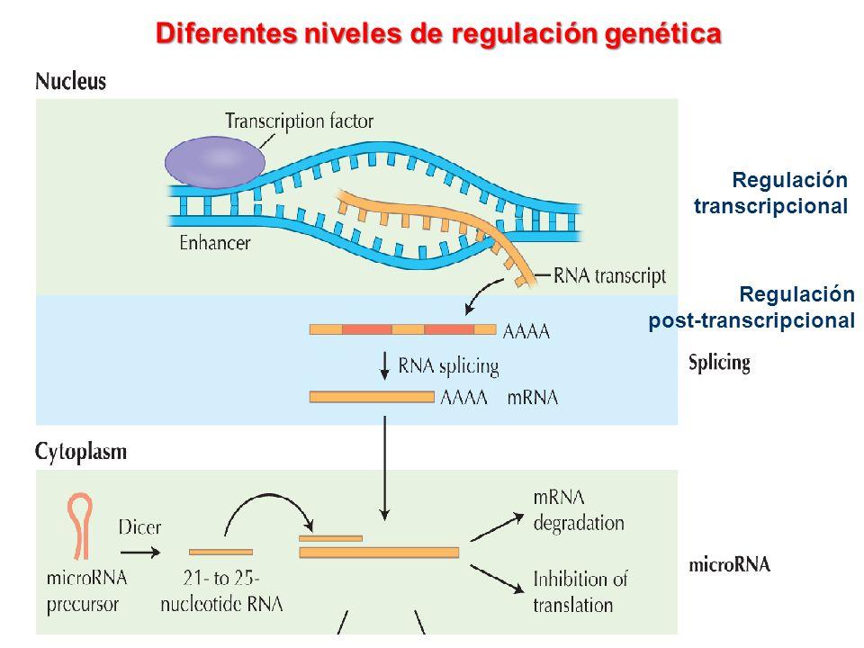Diferentes niveles de regulación genética