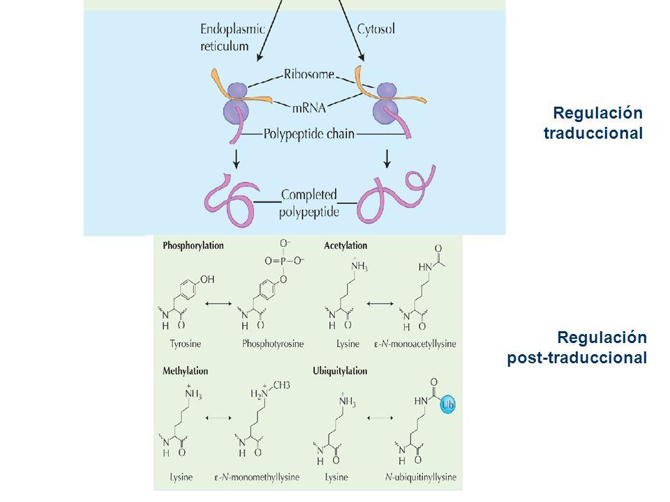 Regulación traduccional Regulación post-traduccional