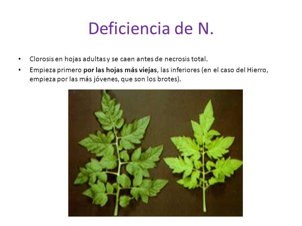 Deficiencia de N. Clorosis en hojas adultas y se caen antes de necrosis total.