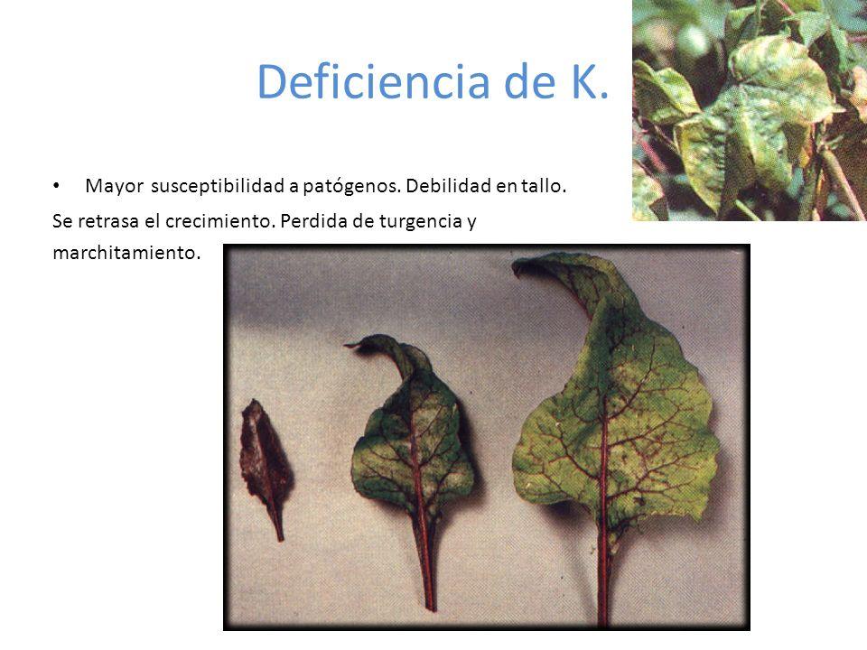 Deficiencia de K. Mayor susceptibilidad a patógenos. Debilidad en tallo. Se retrasa el crecimiento. Perdida de turgencia y.