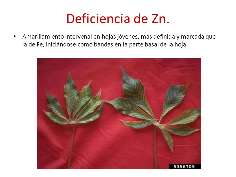 Deficiencia de Zn.