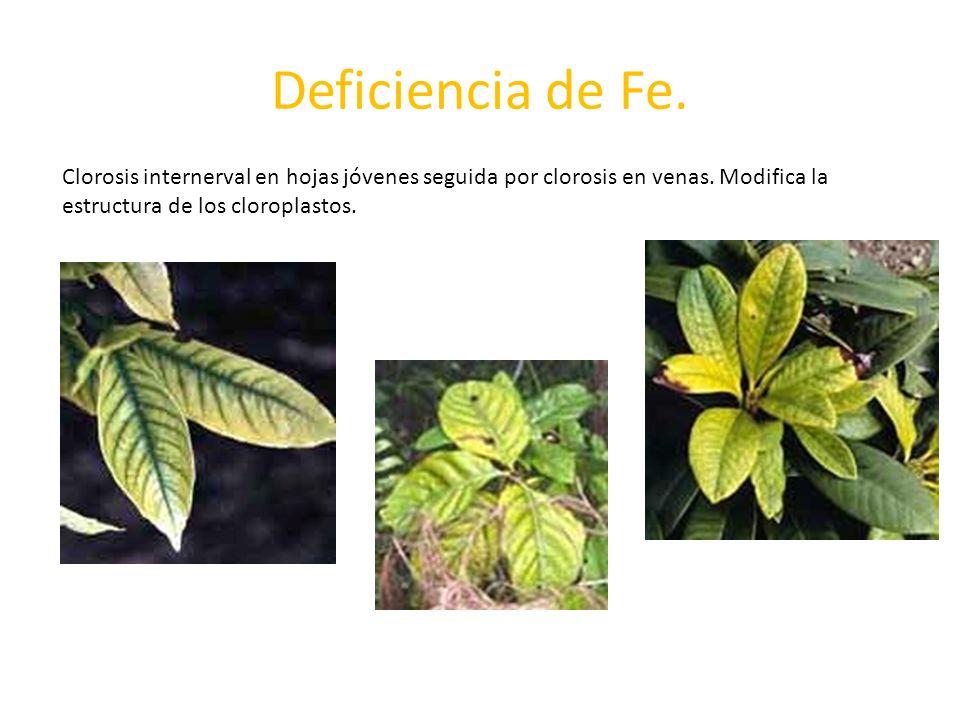 Deficiencia de Fe. Clorosis internerval en hojas jóvenes seguida por clorosis en venas.