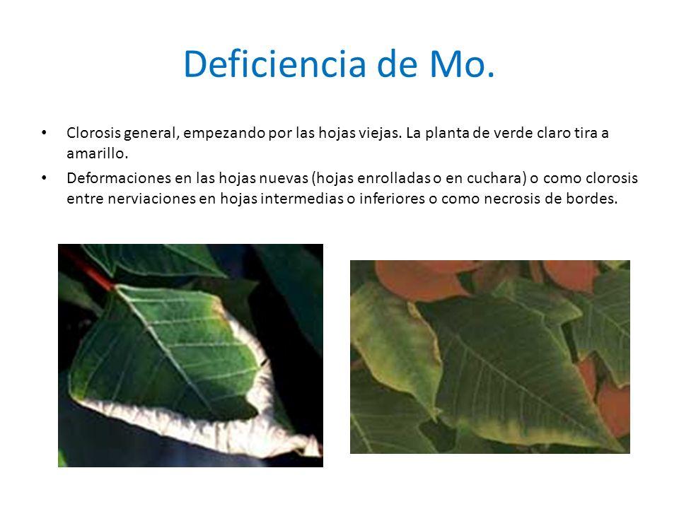 Deficiencia de Mo. Clorosis general, empezando por las hojas viejas. La planta de verde claro tira a amarillo.