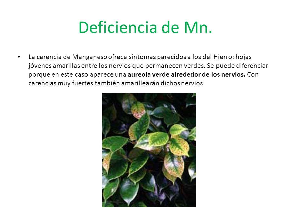 Deficiencia de Mn.