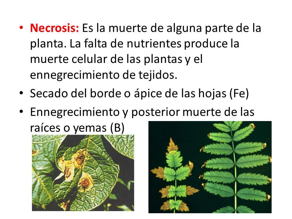 Necrosis: Es la muerte de alguna parte de la planta