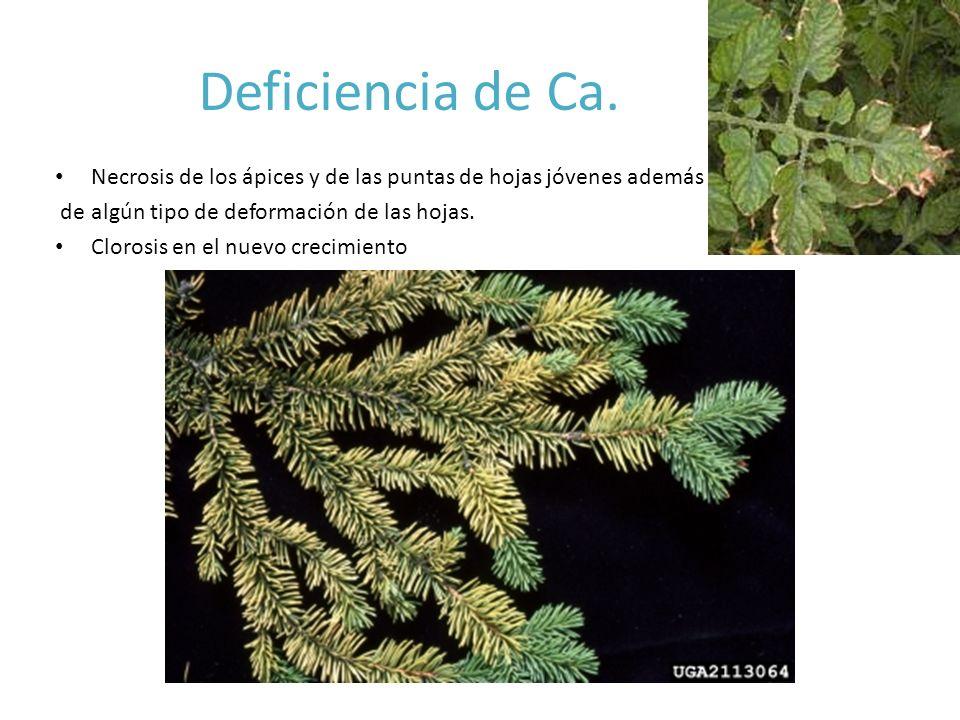 Deficiencia de Ca. Necrosis de los ápices y de las puntas de hojas jóvenes además. de algún tipo de deformación de las hojas.
