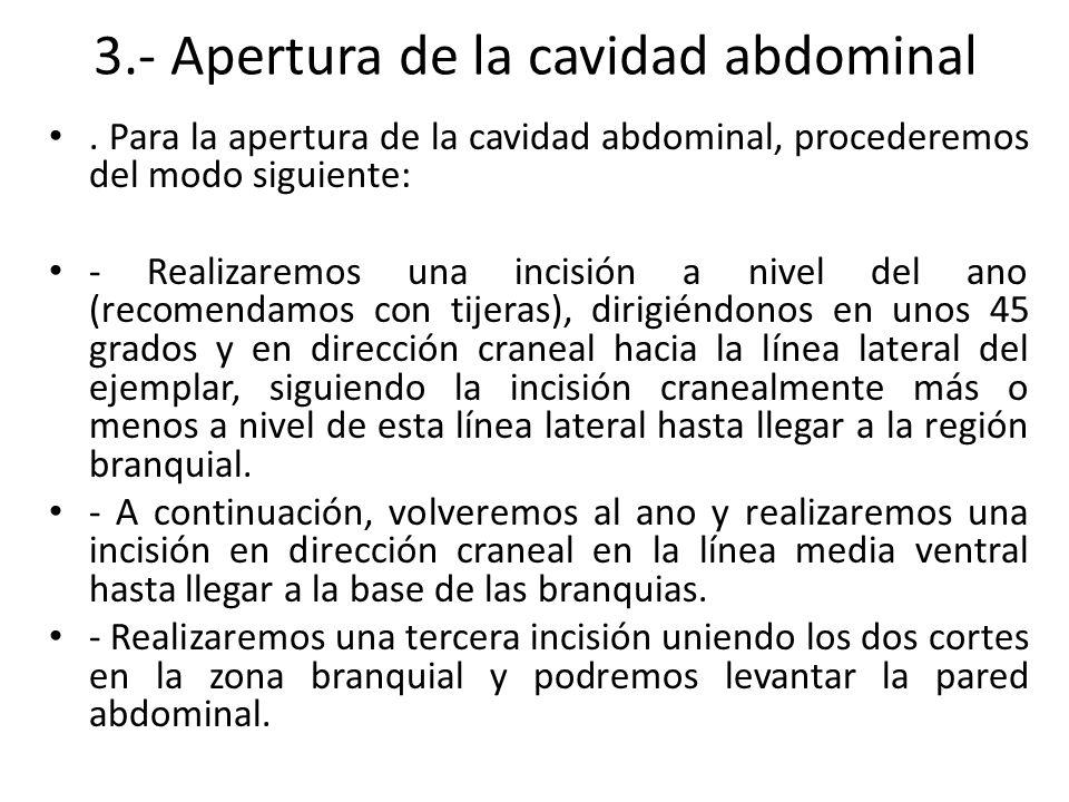 3.- Apertura de la cavidad abdominal