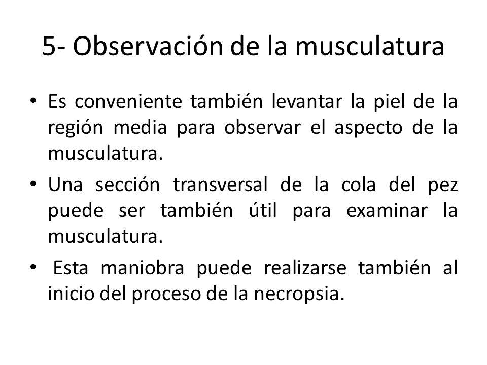 5- Observación de la musculatura