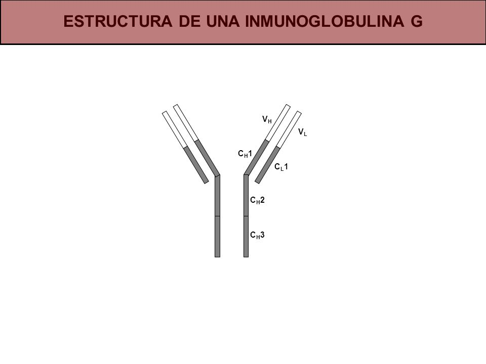 ESTRUCTURA DE UNA INMUNOGLOBULINA G