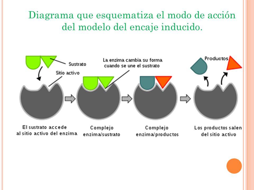Diagrama que esquematiza el modo de acción del modelo del encaje inducido.
