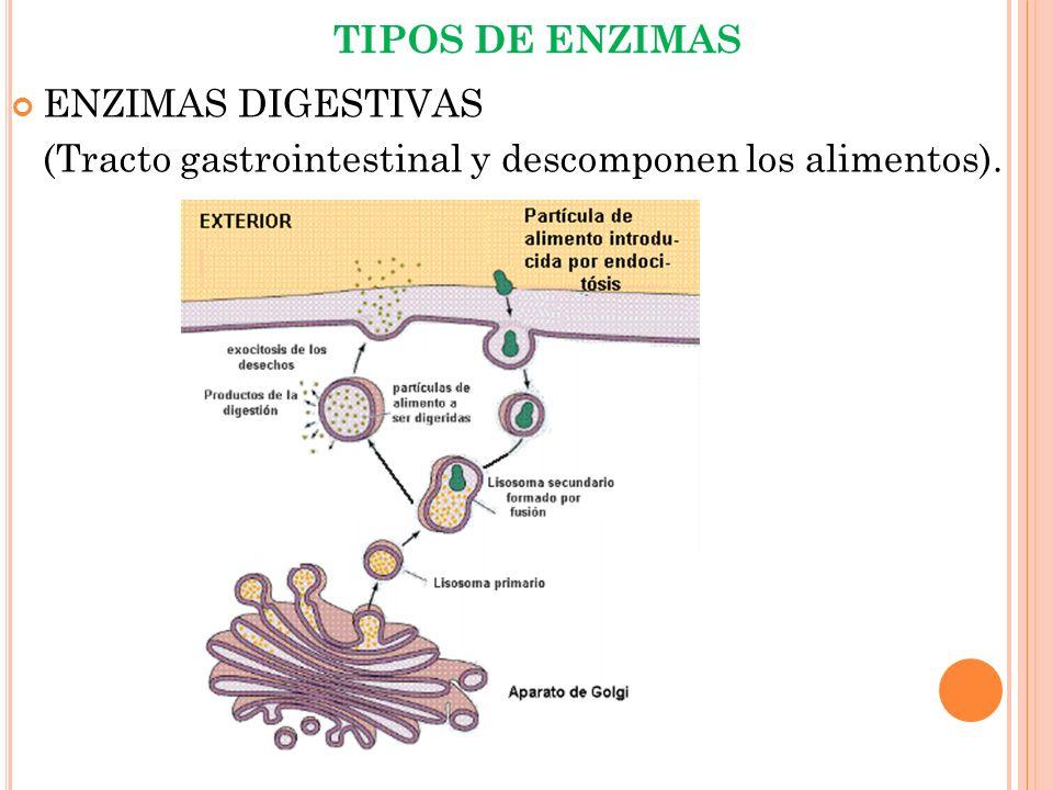 TIPOS DE ENZIMAS ENZIMAS DIGESTIVAS (Tracto gastrointestinal y descomponen los alimentos).